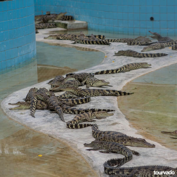 Pattaya Crocodile Farm Show