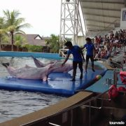 Pattaya-Dolphin-World-Show-2